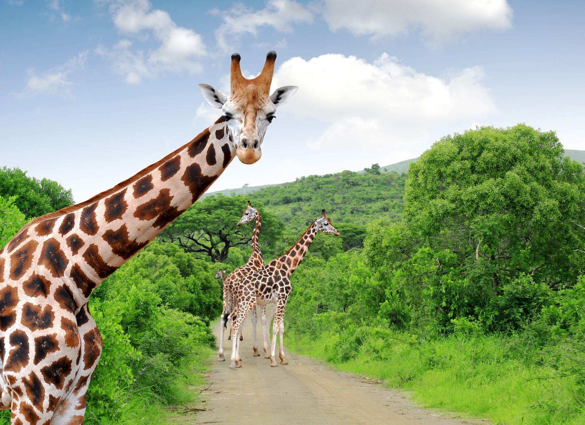 Giraffen im Krüger Nationalpark © vencavolrab